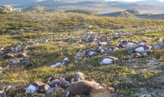 Imagini şocante într-un parc național din sudul Norvegiei, unde peste 320 de reni au fost uciși de fulger. Animalele au fost găsite fără suflare de un pădurar, care a anunțat autoritățile. Potrivit presei locale, renii morți erau împrăștiați pe un perimetru de 50 de metri. Mai multe animale încă mai erau în viață la venirea... Post-ul Peste 320 de reni au fost uciși de fulger apare prima dată în CANAL 3.